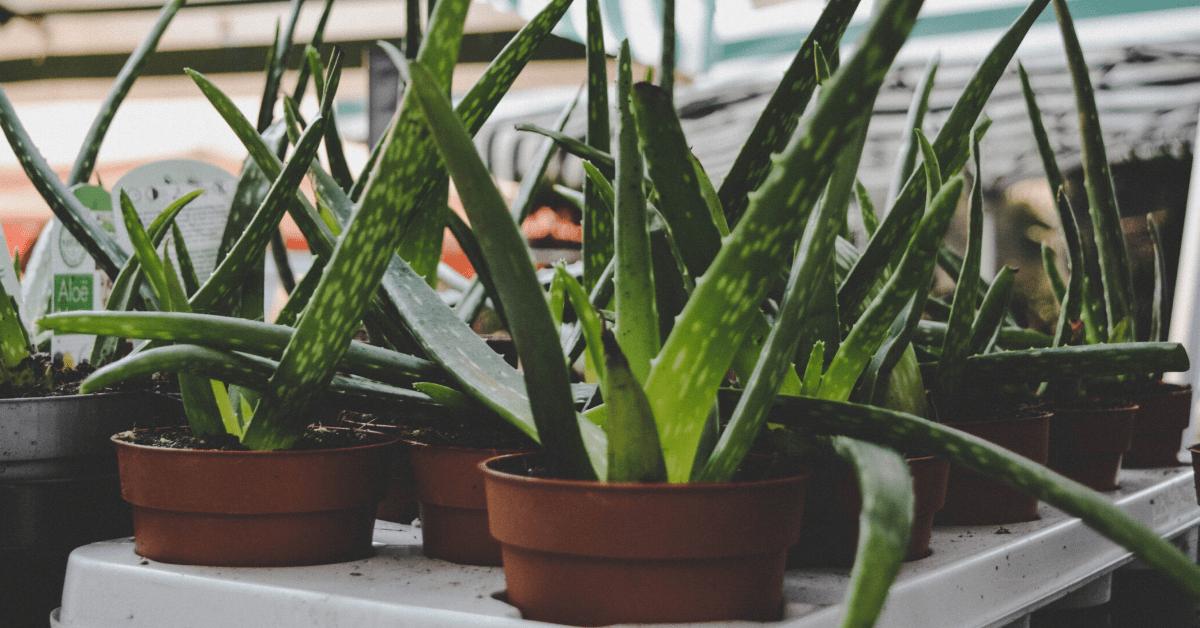 How To Grow Aloe Vera Indoors