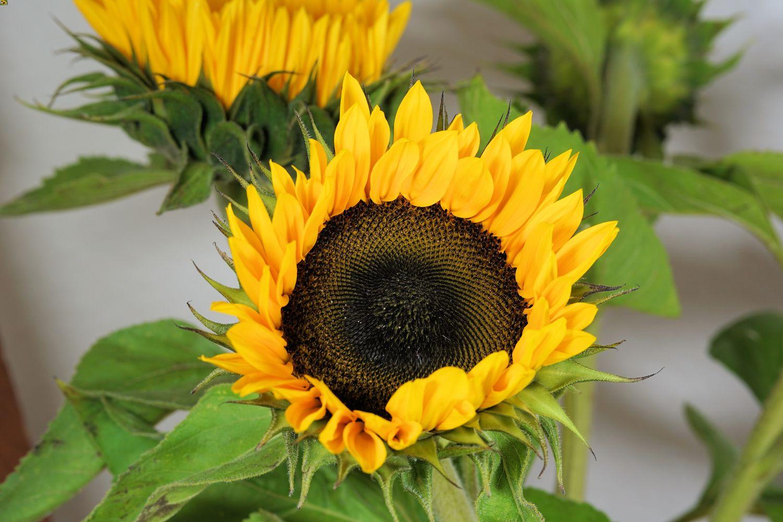 grow sunflower indoor