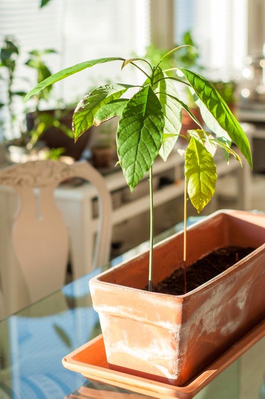 avocado indoor plant