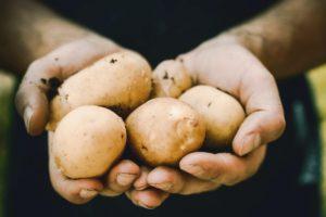 hands holding harvest potatoes