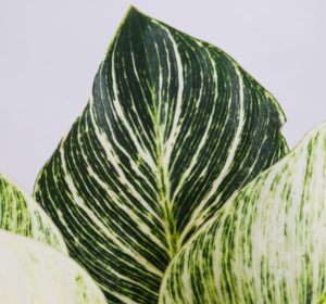 close up green white leaves philondendron birkin