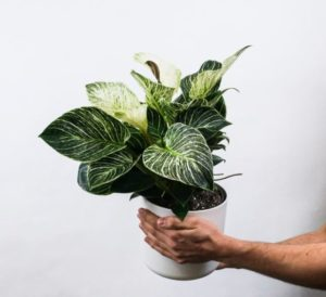 hand holding philodendron birkin in a white pot