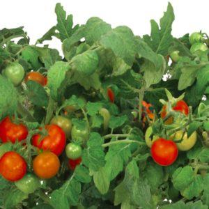 Cherry Tomatoes - Two Peas