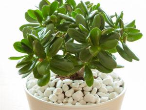 Jade Plant Two Peas