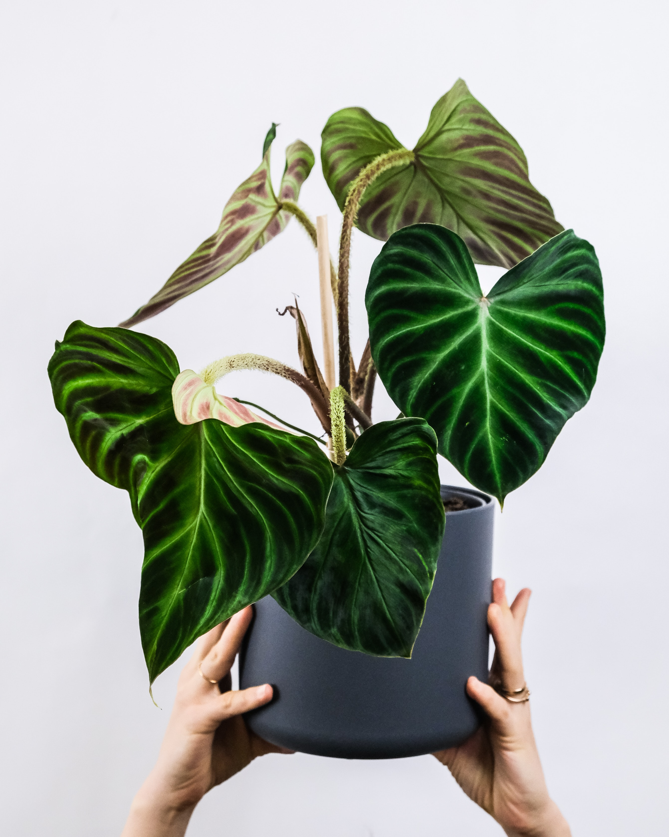 Philodendron Gloriosum: The Complete Growers Guide
