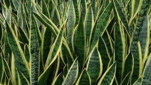 Snake Plant Faiths Florist