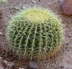 barrel cactus faiths florist