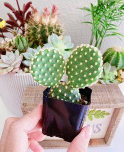 bunny ear cactus my succulent corner