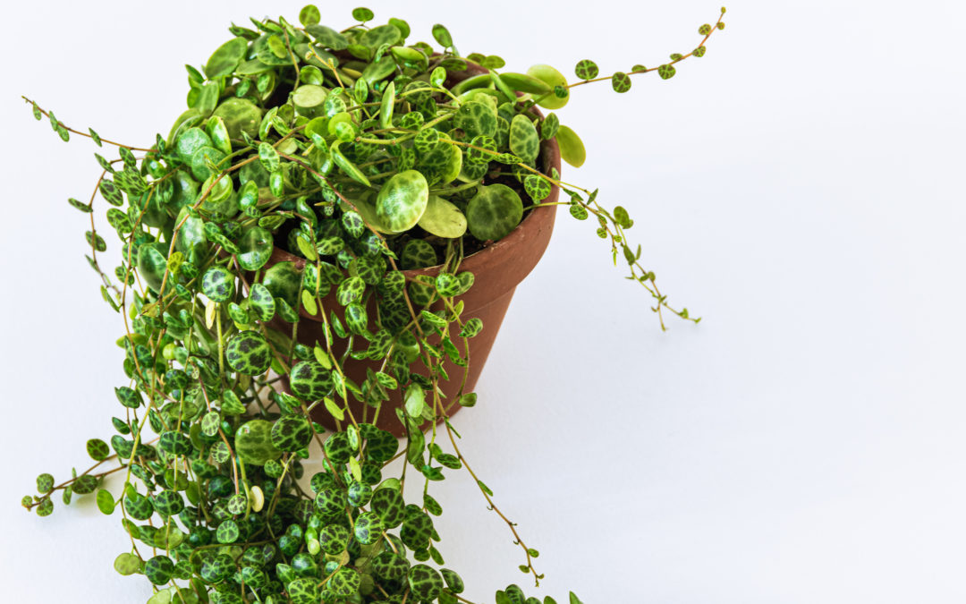 String of Turtles: A Peperomia Prostrata Guide for Beginners