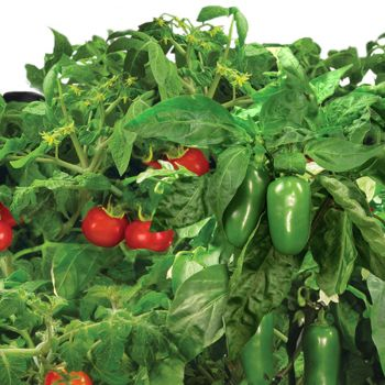tomato and pepper variety aerogarden two peas