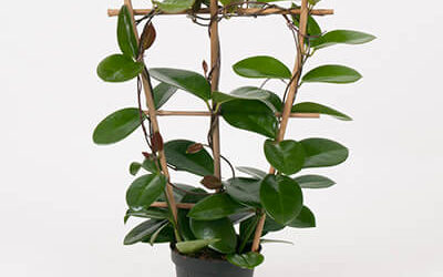 How to Grow Hoya Australis