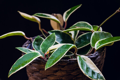 hoya plant in a basket