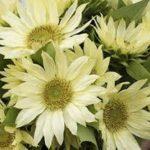 Jade Sunflower pic