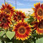Little Becca Sunflower