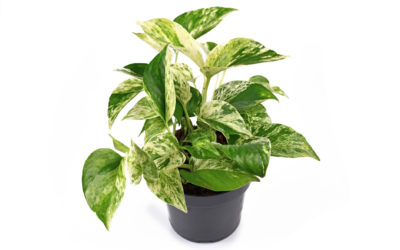 11 Tips For Growing Marble Queen Pothos