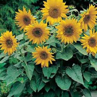 Pacino Sunflower pic