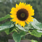 Sunny smile sunflower pic