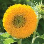 Teddy Bear Sunflower pic