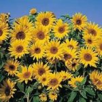 Topolino Sunflower pic