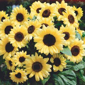 Valentine Sunflower pic