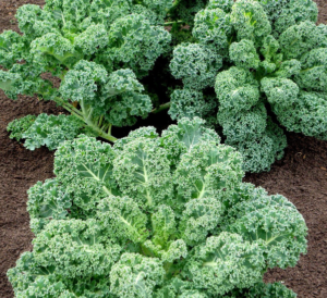 common curly kale