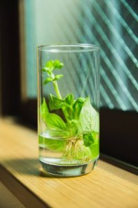 rooted herb inside glass with water