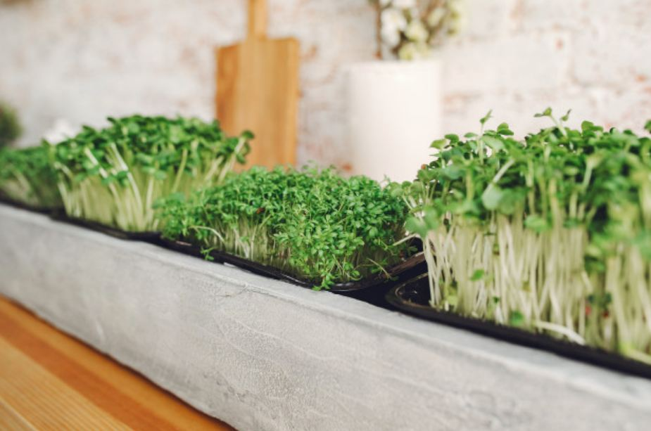 microgreens plant in the kitchen