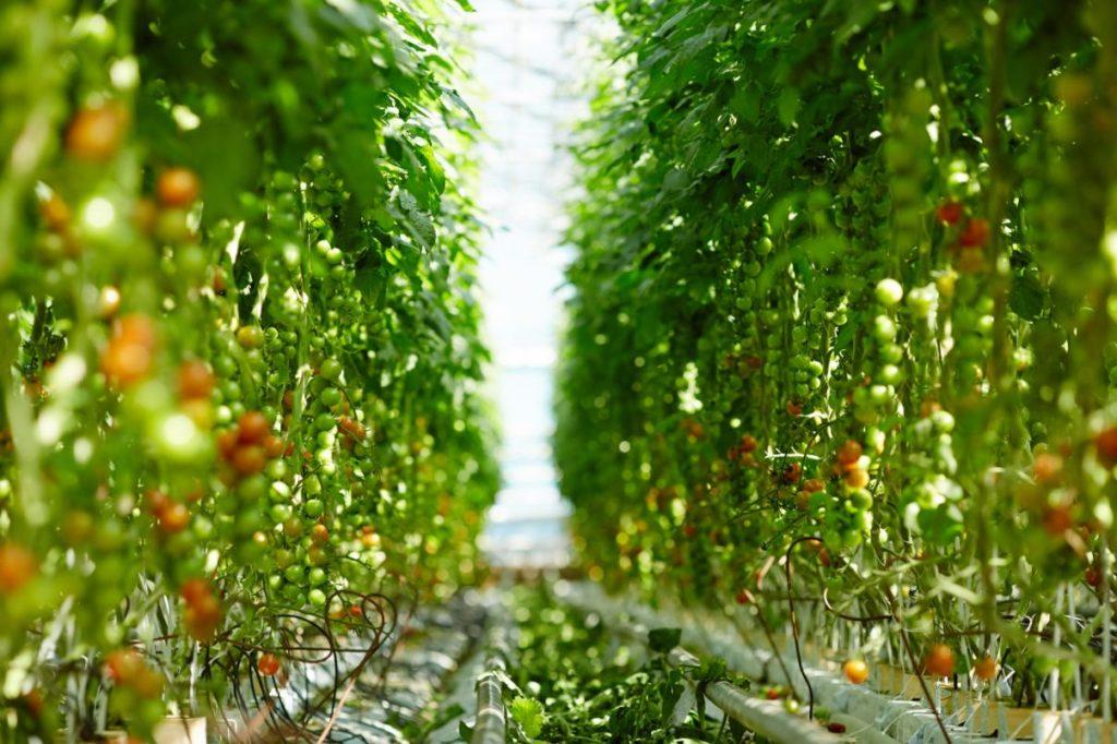 ripe and unripe tomato plants indoor