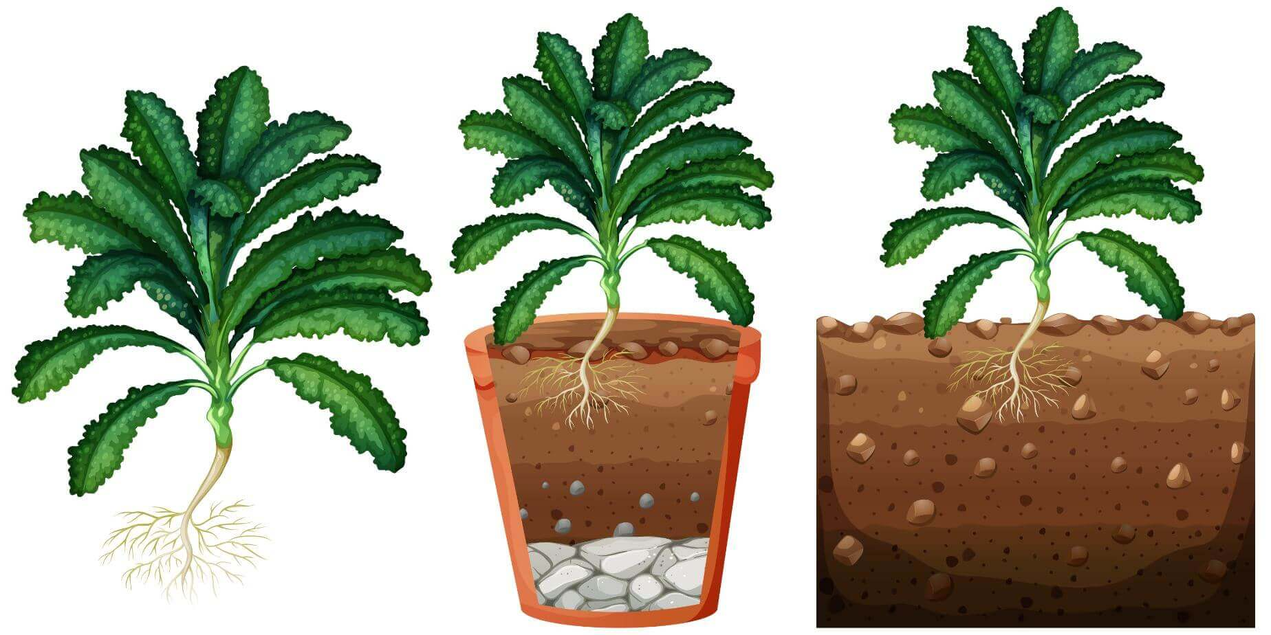 kale illustration planted in pot and soil