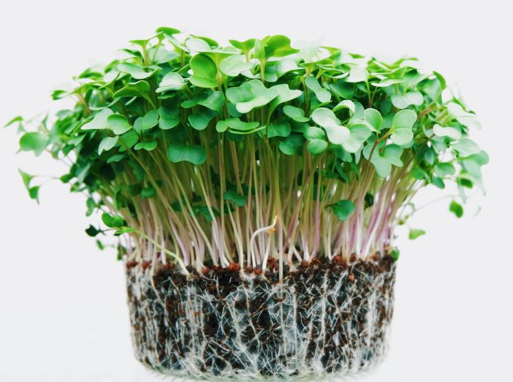 microgreens with roots planted in soil