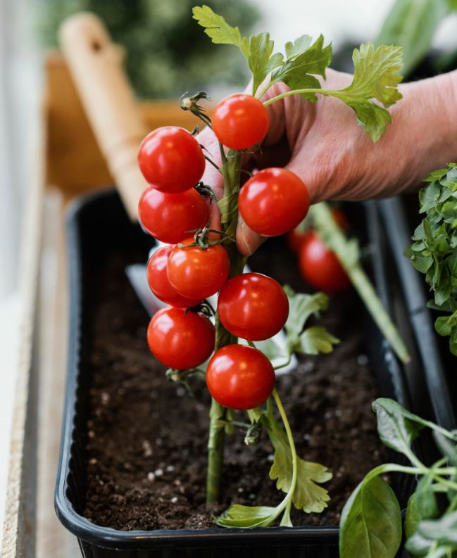 close up hands touching red tomato plant