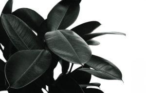 black rubber tree plant in white
