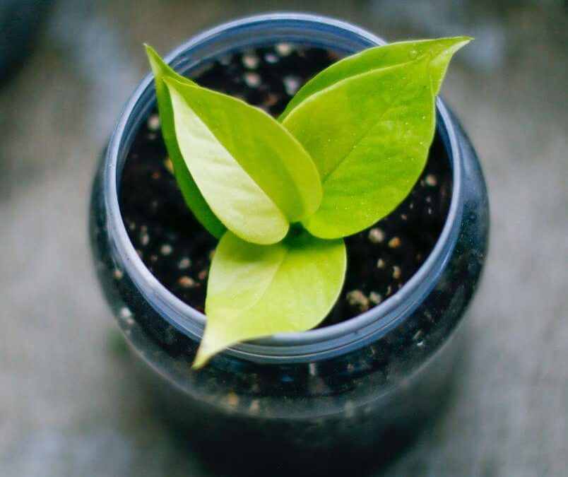 Tips For Neon Pothos Care