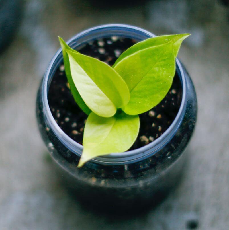 neon pothos in a jar indoor plant guide