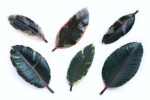 six rubber tree leaves pruning