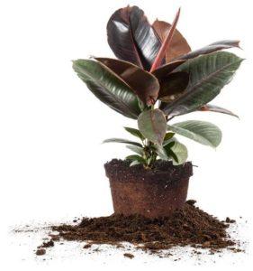 amazon plant for sale rubber tree