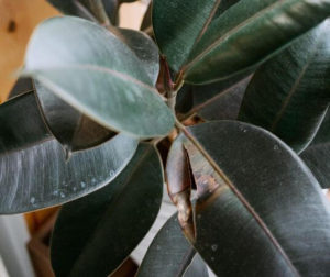 rubber tree plant with dying leaves
