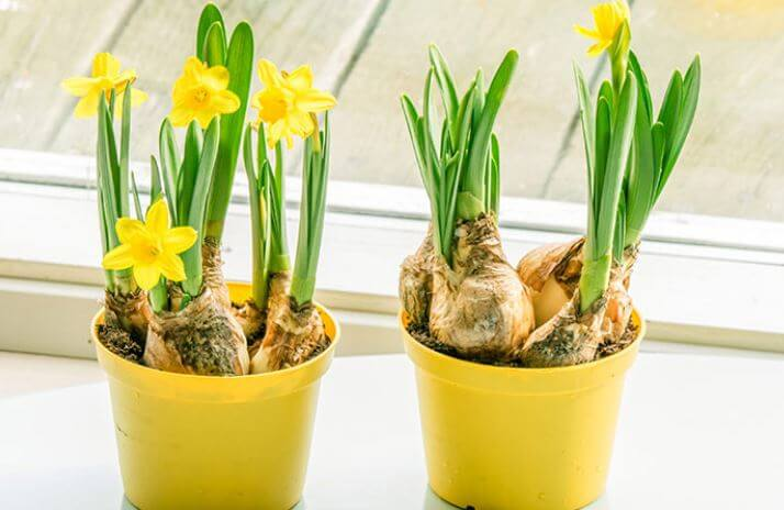 daffodil bulbs and flower in a yellow pot