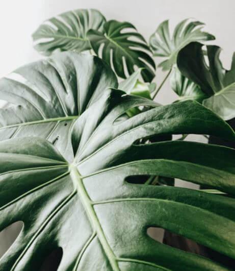 philodendron monstera deliciosa leaf