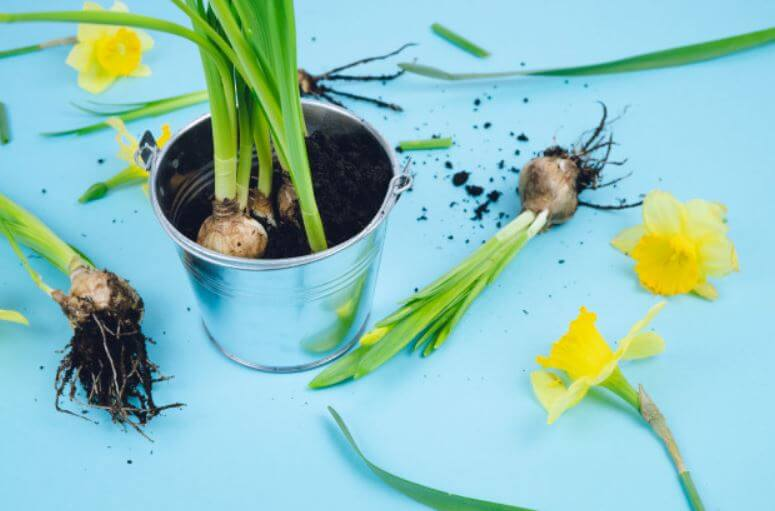 planting daffodil bulbs in a stainless pot blue background image