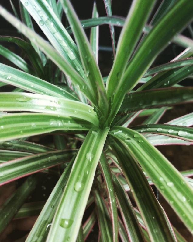 dracaena marginata with drops of water