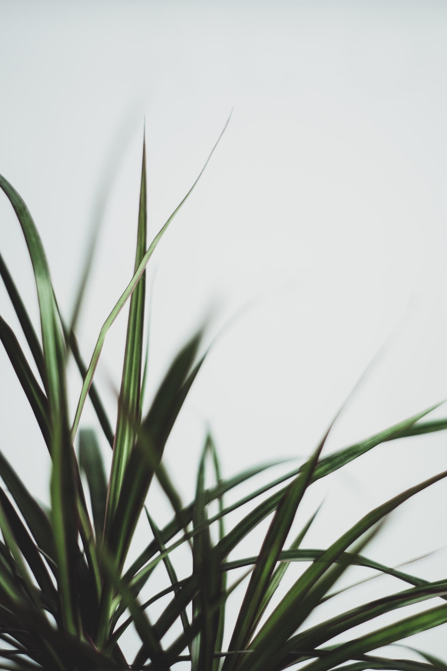 dracaena marginata leaves in white background