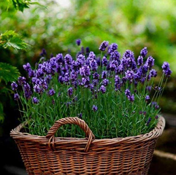english lavender in brown basket