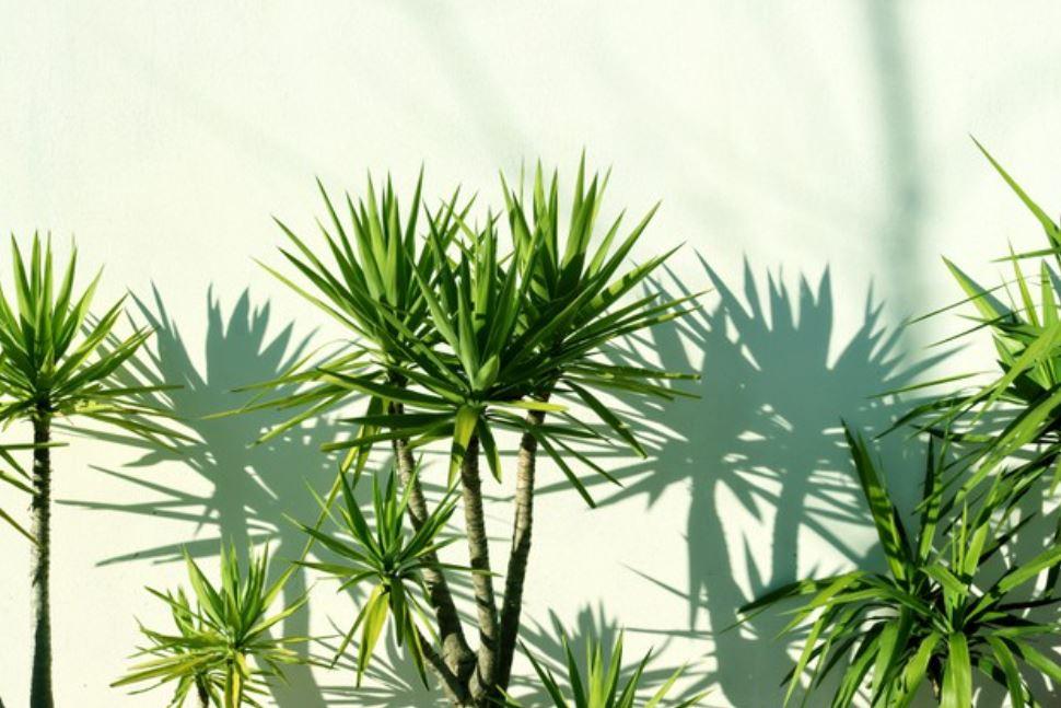 green dracaena marginata