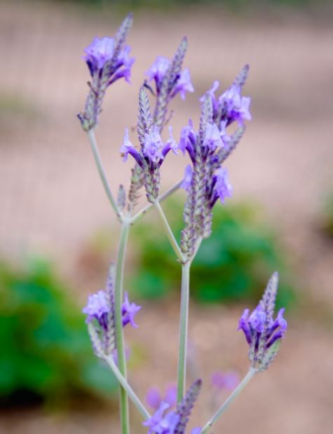 close up purple canariensis lavender