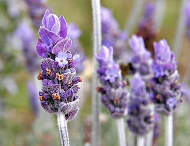 lavender heterophylla flower close up