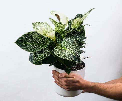 hand holding philodendron birkin in white pot