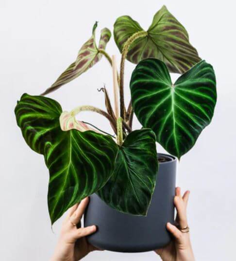 hand holding philodendron verrucosum in black pot