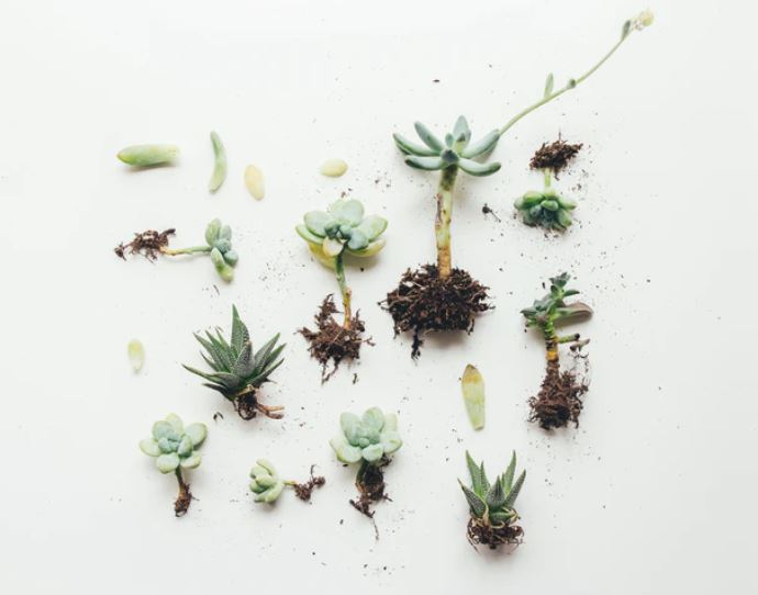 propagate succulent cuttings with roots in white table