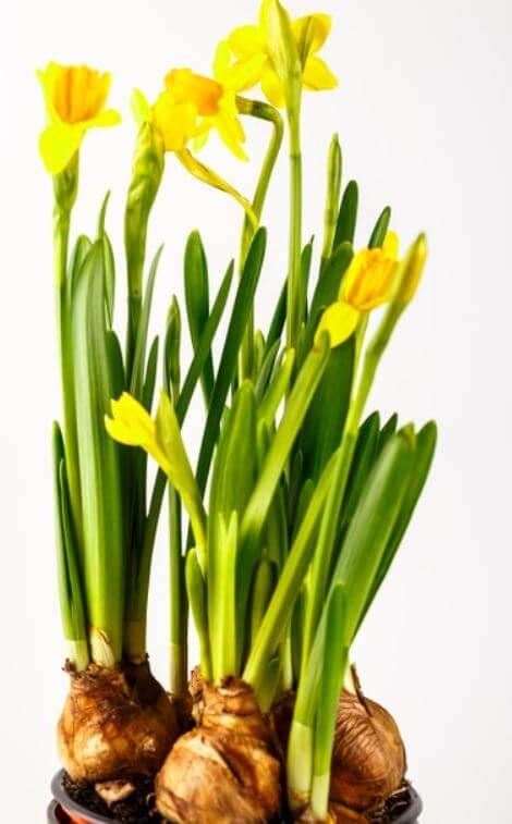 yellow daffodil bulb in a pot